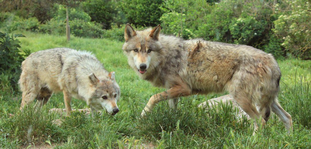 Loups de Sybérie au parc du gévaudan à Sainte Cécite en Lozère