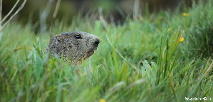 Marmotte Adulte sur le massif du Mézenc en Haute-Loire